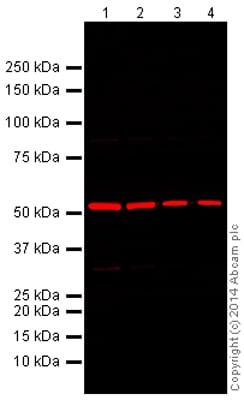 Western blot - Donkey Anti-Rabbit IgG H&L (Alexa Fluor® 680) (ab175772)