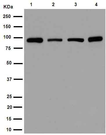 Western blot - Anti-STAT5b antibody [EPR16671] (ab178941)