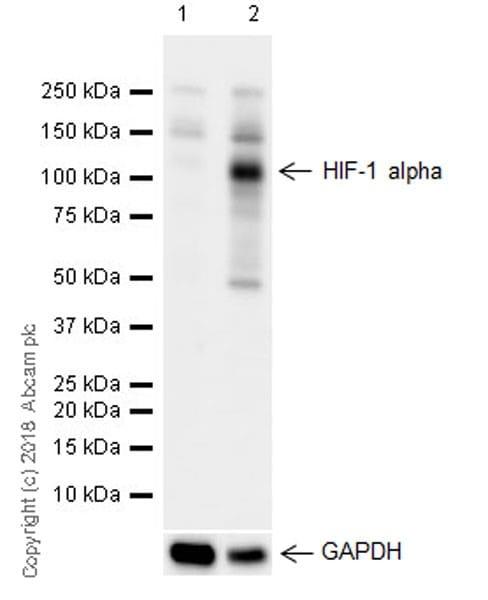 Western印迹-抗HIF-1α抗体[EPR16897 ](AB17983)