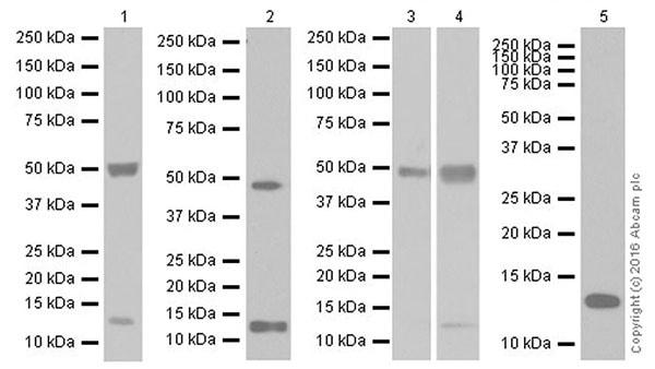 Western blot - Anti-TGF beta 1 antibody [EPR18163] (ab179695)