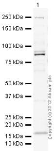 Western blot - Anti-Ago1 antibody (ab18190)