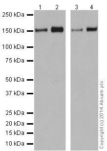 Western blot - Anti-Integrin alpha 2 antibody [EPR17338] - C-terminal (ab181548)