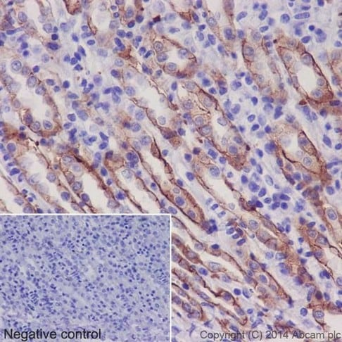 Immunohistochemistry (Formalin/PFA-fixed paraffin-embedded sections) - Anti-Integrin alpha 2 antibody [EPR17338] - C-terminal (ab181548)