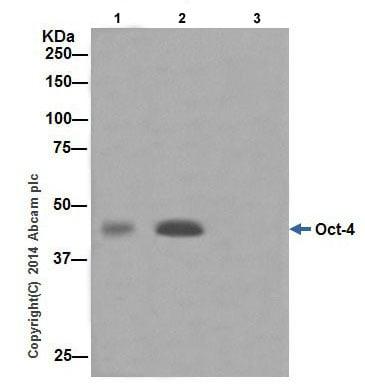 免疫沉淀-抗Oct4抗体[EPR17929]-芯片级(ab181557)
