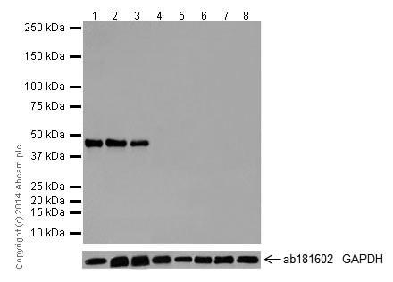 免疫印迹-抗Oct4抗体[EPR17929]-芯片级(ab181557)