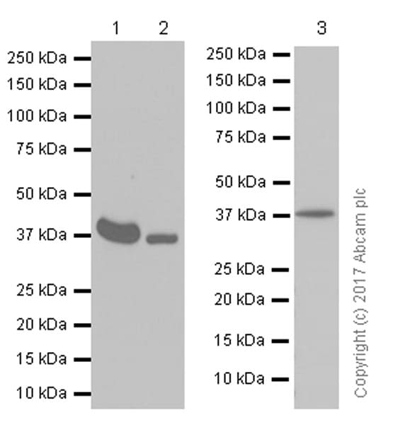 Western blot - Anti-MT-ND1 antibody [EPR13466(2)] (ab181848)