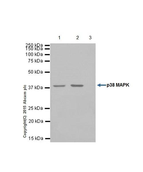 Immunoprecipitation - Anti-p38 alpha/MAPK14 antibody [EPR16878] (ab182453)