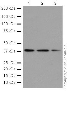 Western blot - Anti-p38 alpha/MAPK14 antibody [EPR16878] (ab182453)