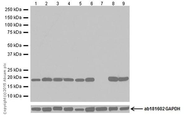 Western blot - Anti-Bax antibody [EPR18283] (ab182733)