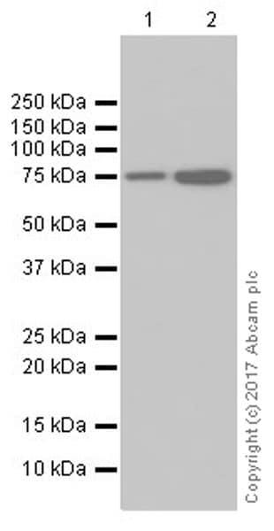 Western blot - Anti-Apg7 antibody [EPR20384] (ab183188)