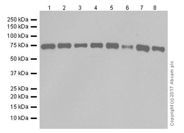 Western blot - Anti-SHP2 antibody [EPR17829-9] (ab187040)