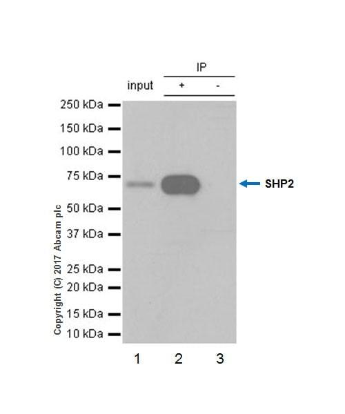 Immunoprecipitation - Anti-SHP2 antibody [EPR17829-9] (ab187040)