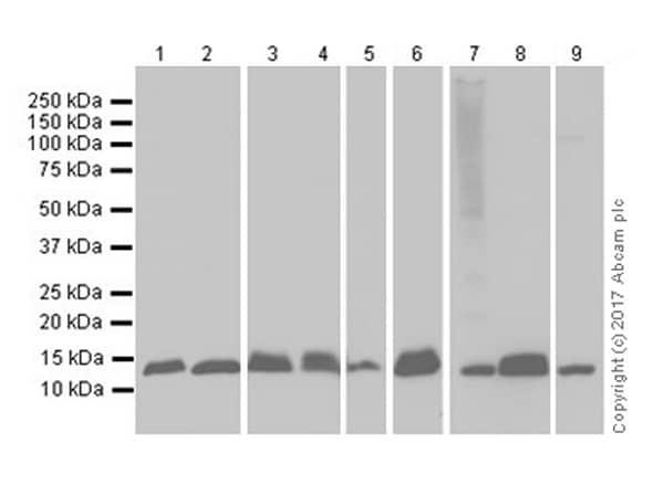 Western blot - Anti-MIF antibody [EPR18149-128] (ab187064)