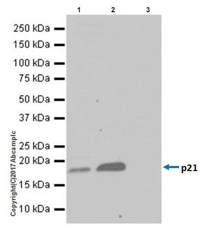 Immunoprecipitation - Anti-p21 antibody [EPR18021] (ab188224)