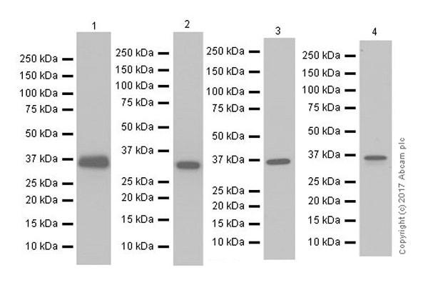 Western blot - Anti-APE1 antibody [EPR18378-45] - ChIP Grade (ab189474)