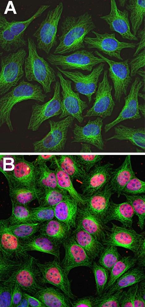 Immunocytochemistry - Anti-c-Fos antibody (ab190289)