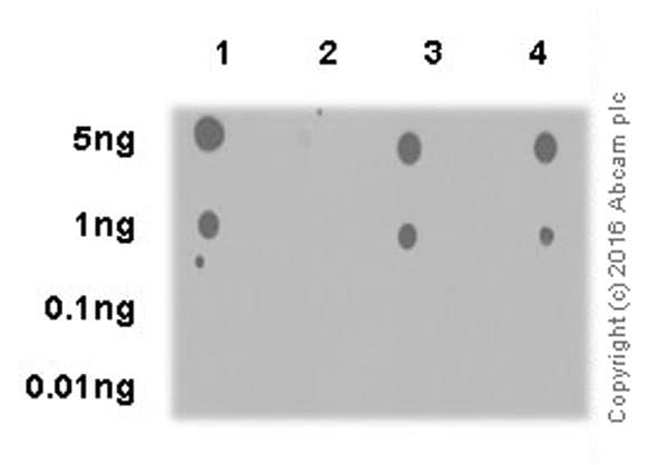 Dot Blot - Anti-AKT3 (phospho S472) + AKT2 (phospho S474) + AKT1 (phospho S473) antibody [EPR18853] (ab192623)