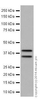 Western blot - Anti-MEK3 antibody [EPR17345-104] (ab195037)