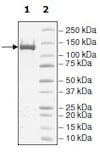 SDS-PAGE - Recombinant human Dnmt1 protein (ab198109)
