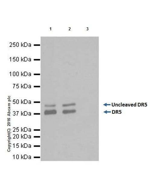 Immunoprecipitation - Anti-DR5 antibody [EPR19310] (ab199357)