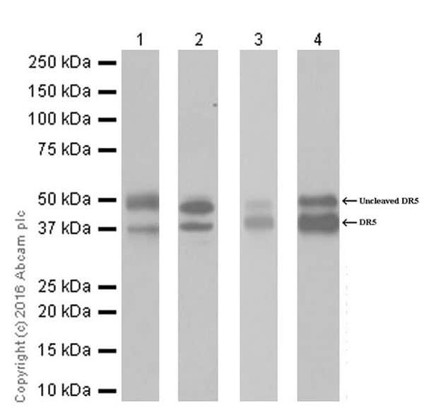 Western blot - Anti-DR5 antibody [EPR19310] (ab199357)