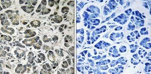 Immunohistochemistry (Formalin/PFA-fixed paraffin-embedded sections) - Anti-NDUFA8 antibody (ab199681)