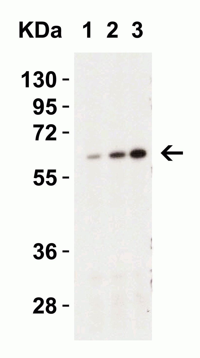 Western blot - Anti-Caspase-9 antibody (ab2013)