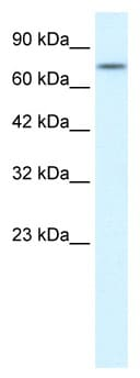 Western blot - Anti-RIP antibody (ab2035)
