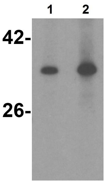 Western blot - Anti-TRAIL antibody (ab2056)