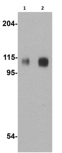 Western blot - Anti-Amyloid Precursor Protein antibody (ab2073)