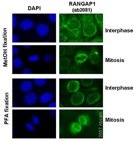 Immunocytochemistry/ Immunofluorescence - Anti-RanGAP1 antibody (ab2081)