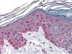 Immunohistochemistry (Formalin/PFA-fixed paraffin-embedded sections) - Anti-Cyclin T1 antibody (ab2098)