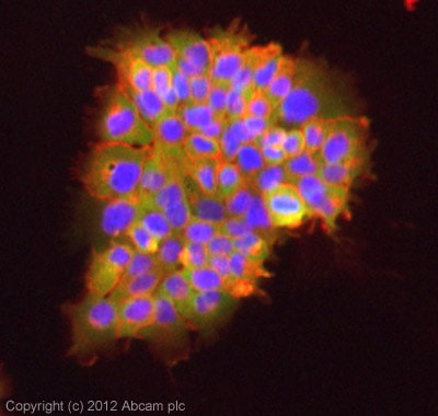 Immunocytochemistry/ Immunofluorescence - Anti-Caspase-2L antibody (ab2251)