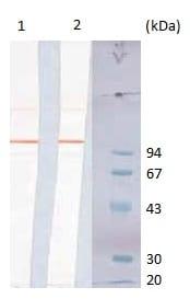 Western blot - Anti-Bacillus anthracis spore antigen antibody [SA26] (ab2281)