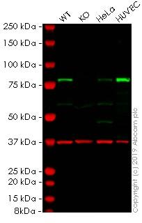 Western blot - Anti-Transglutaminase 2 antibody [CUB 7402] (ab2386)