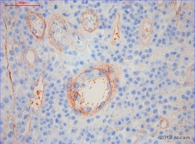 Immunohistochemistry (Resin sections) - Anti-Heparan Sulphate Proteoglycan (Large) antibody [A7L6] (ab2501)