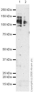 Western blot - Anti-CD98 antibody [MEM-108] - Plasma Membrane Marker (ab2528)