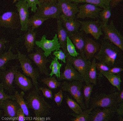 Immunocytochemistry/ Immunofluorescence - Anti-CD105 antibody [MEM-226] (ab2529)