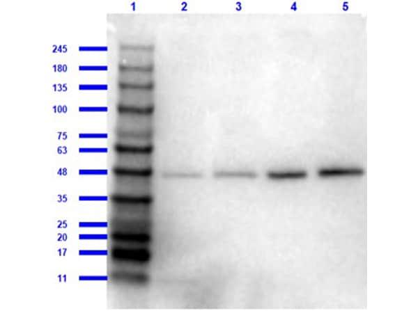 Western blot - Anti-beta Amyloid antibody (ab2539)