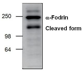 Western blot - Anti-NEAS antibody (ab2558)