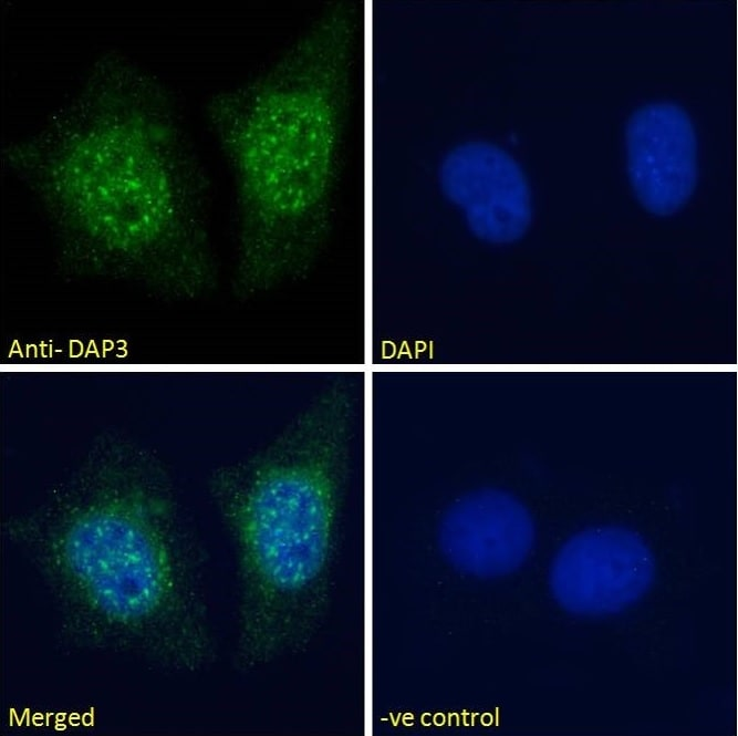 Immunocytochemistry/ Immunofluorescence - Anti-DAP3 antibody (ab2637)