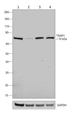 Western blot - Anti-TRAP1 antibody [TRAP1-6] (ab2721)