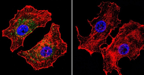 Immunocytochemistry/ Immunofluorescence - Anti-NFAT1 antibody [25A10.D6.D2] (ab2722)