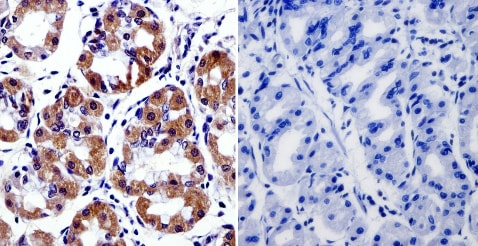 Immunohistochemistry (Formalin/PFA-fixed paraffin-embedded sections) - Anti-Cytohesin 2 antibody [10A12] (ab2728)