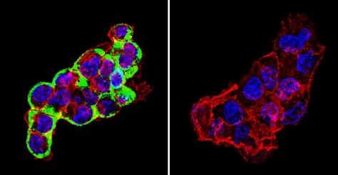 Immunocytochemistry/ Immunofluorescence - Anti-Cytohesin 2 antibody [10A12] (ab2728)