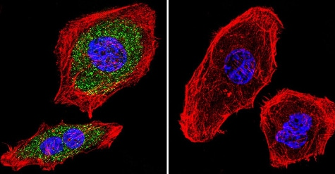 Immunocytochemistry/ Immunofluorescence - Anti-Aryl hydrocarbon Receptor  [RPT9] antibody - ChIP Grade (ab2769)