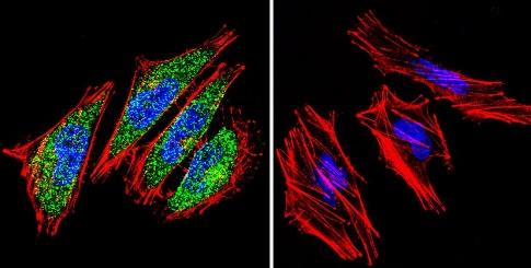 Immunocytochemistry/ Immunofluorescence - Anti-HIF1 beta antibody [2B10] (ab2771)