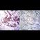 Immunohistochemistry (Formalin/PFA-fixed paraffin-embedded sections) - Anti-Mineralocorticoid Receptor antibody [H10E4C9F] (ab2774)