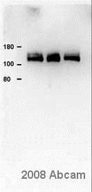 Western blot - Anti-Calcium Pump PMCA4 ATPase antibody [JA9] (ab2783)