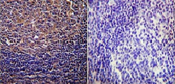 Immunohistochemistry (Formalin/PFA-fixed paraffin-embedded sections) - Anti-CFTR antibody [CF3] (ab2784)